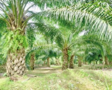 23pc oil palm plantations mspo-certified