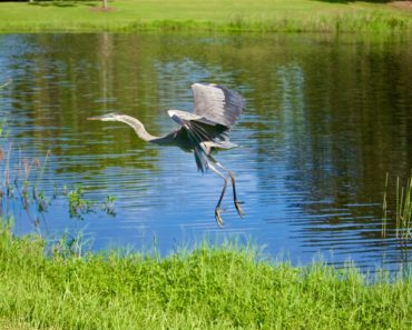 Wilderness Country Club certified as an Audubon cooperative sanctuary